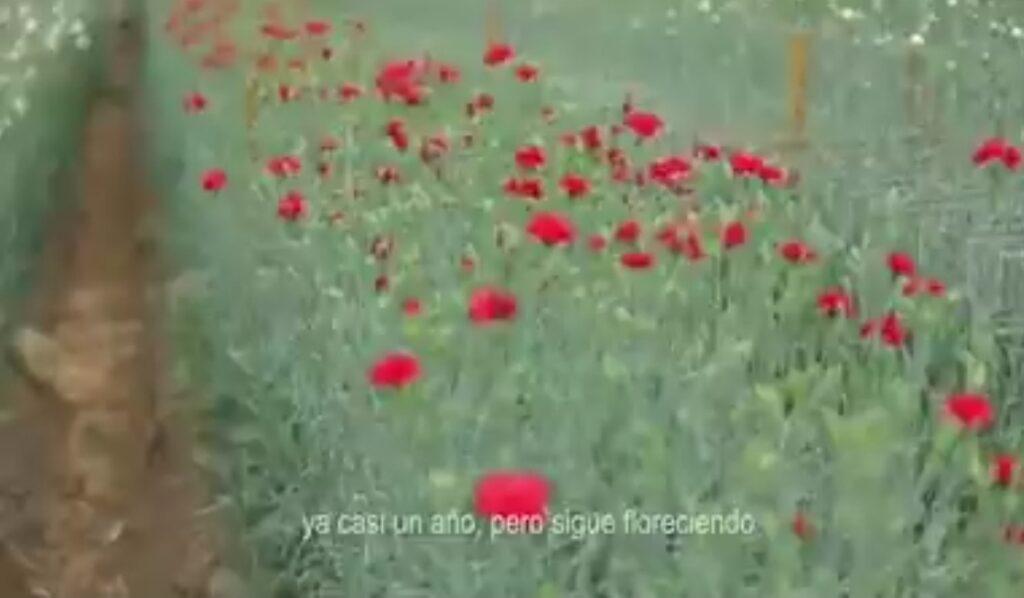La floricultura de Cochabamba resiste el impacto de la pandemia